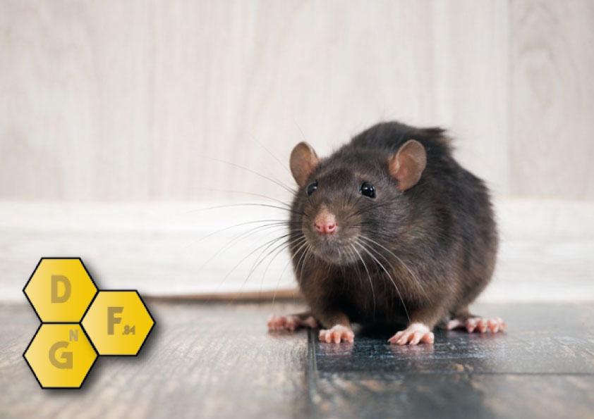Rats et habitation